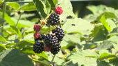 黑莓,水果
