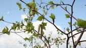 桦树一觉,桦树