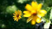 黄色菊花,菊花