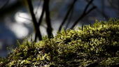 苔藓植物,苔藓