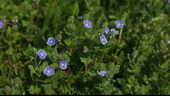 蓝色的花,小兰花