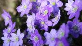 小兰花,小蓝花