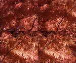 枫叶,枫树,秋天,香山,树林