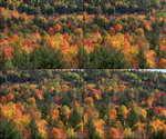 秋天,枫树,枫叶,树林