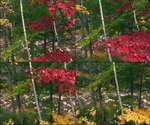 秋天,枫树,枫叶,树林,湖泊