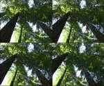森林,参天大树,枝繁叶茂,树干,树叶